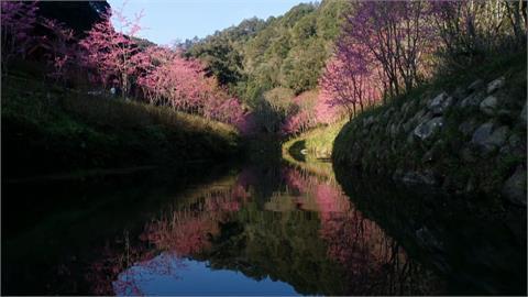南投杉林溪櫻花盛開 白面鼯鼠夜訪啖大餐