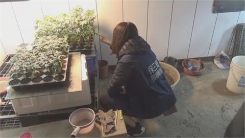 養殖大閘蟹生意失敗鋌而走險 魚塭工寮種大麻被逮 查扣138株!