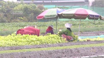 連日大雨菜農紛搶收 葉菜類受損價漲三成