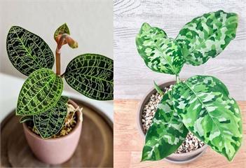看了一定迷上!6種外型奇特的觀葉植物「它」最吸睛
