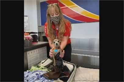 美德州吉娃娃鑽行李箱 差點偷渡成功飛賭城渡假