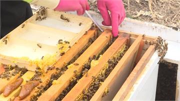 昆蟲銳減影響絲瓜授粉 農會繁殖蜜蜂助提升產量