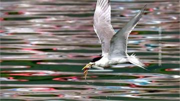 悲慘!鳳頭燕鷗卡塑膠垃圾 無法張口進食