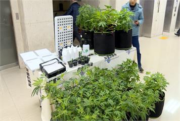自學種大麻 還張貼海報促合法化!飄出臭味警察上門 瓦解大麻工廠