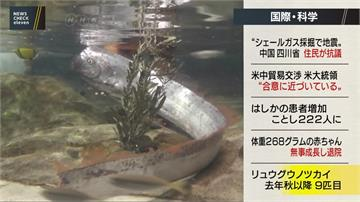 日本富山縣捕獲地震魚 民眾擠水族館搶看