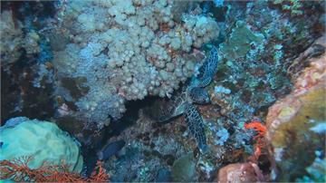 隱藏潛水新秘境!三仙台嶼生態資源豐富  海扇比蘭嶼更大、更密集!潛水天堂