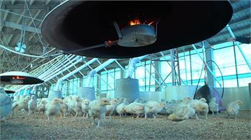 小雞也怕冷擠一窩 雞場開暖氣取暖