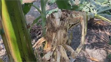 香蕉樹被啃攔腰斷 有抓痕巨獸入侵烏龍村香蕉園?