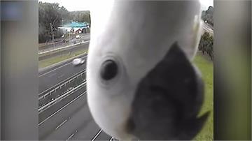 幫主人擋超速照?小鸚鵡每天都來這支監視器「自拍」