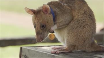 掃雷累到有黑眼圈 甘比亞巨鼠獲頒勳章
