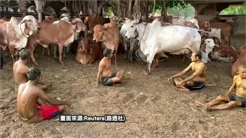 印度疫情失控 竟謠傳牛糞塗身可對抗武肺