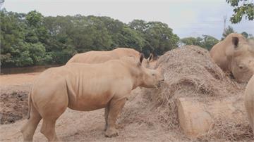 搶救瀕危動物!六福村白犀牛「艾瑪」將遠嫁日本