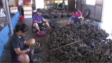 豪雨淡化海水 台南牡蠣、文蛤災損價漲