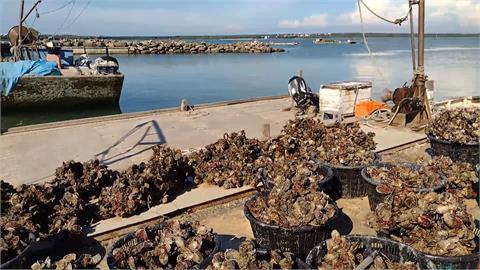 你沒看錯...1斤才10元 澎湖帶殼牡蠣跳樓大拍賣
