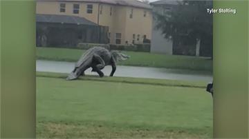 「巨大鱷魚」現身佛州高爾夫球場! 網友質疑造假 爬蟲類專家說話了...