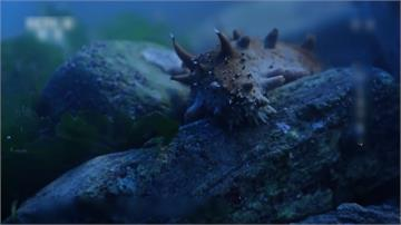 全球/不起眼的海中生物海參 竟成貧窮漁村救星