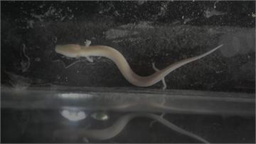神秘小龍「洞螈」 不吃不喝可活10年