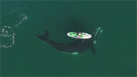 罕見!南露脊鯨現蹤推SUP空拍機全都錄 人鯨友好畫面吸246萬人觀看