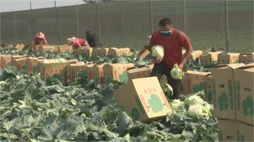 霸氣印刷公司買10萬公斤高麗菜 企業採購雲林高麗菜 拋磚引玉助農民