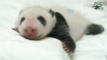 快新聞/「我叫圓寶啦!」  貓熊寶寶圓滾滾成長史、萌照一次大公開!