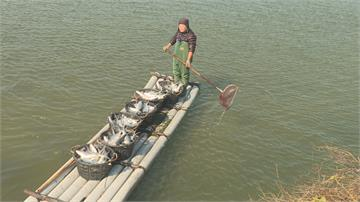天氣太冷撐不下去!虱目魚凍死 養殖業者心痛打撈