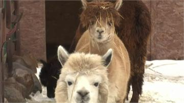 羊駝毛茸茸模樣好舒壓 俄國農場動物明星超人氣