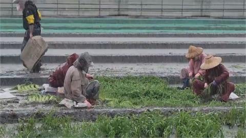 雨下不停「菜園變水」憂心血泡水腐爛...農民冒雨搶收