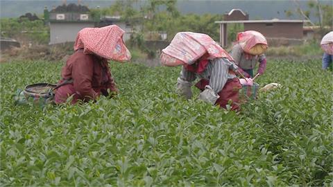 年產值上看2億!鹿野特有「紅烏龍茶」面臨嚴重缺工困境