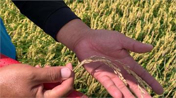 稻熱病害減產!稻民多損失約兩成