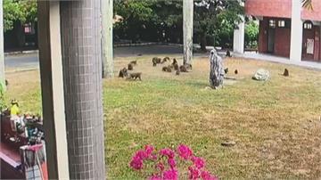 30隻潑猴大膽入侵校園!霸佔校門圍堵學生搶早餐