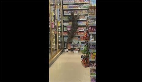 「巨蜥版哥吉拉」 泰國紅樹巨蜥大鬧超商!