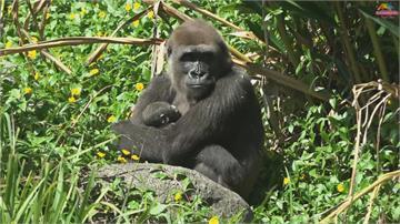 金剛猩猩Tayari生寶寶了!動物園備水果月子餐圓寶頭好壯壯 出生155天體重飆破11公斤