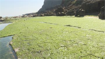 氣溫攀升快致產量大減海萵苣「石蓴」每斤40元漲到百元