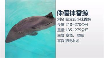 花蓮崇德海灘通報海獅擱淺 實為侏儒抹香鯨