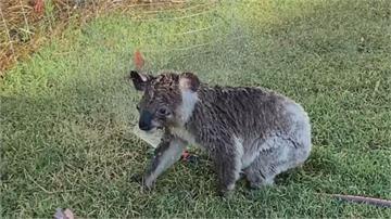 澳洲熱浪來襲 無尾熊灑水器前沖涼喝水