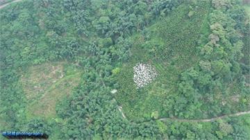 整齊如空軍編隊!黃頭鷺飛越山頭場面壯觀
