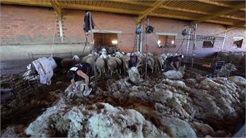 綿羊不能不剃毛!西班牙牧場包機請250烏拉圭師傅來修剪