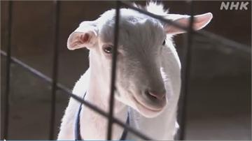 小羊蹺家大逃亡 日網友:崖上的波妞山羊版