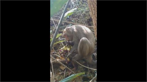 獼猴愛吃血藤花 外型酷似葡萄