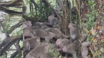 高雄驚傳幫派鬥毆事件!原來是...柴山獼猴們搶食衝突