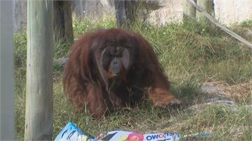 下探10度!壽山動物園保暖大作戰不怕撕爛 紅毛猩猩獲得一塊廣告帆布