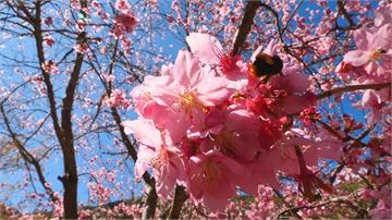 武陵農場櫻花季2月12日開跑明開訂客運票 估遊客增2成