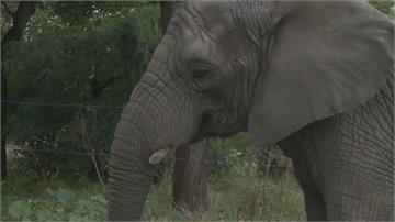 年長母象過世 象群心痛行為異常 動物園用大麻油緩合象群壓力
