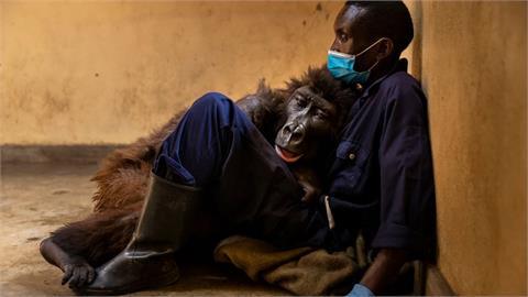 2週大成孤兒「全球最會玩自拍」大猩猩 病逝前躺保育員懷中惹哭網
