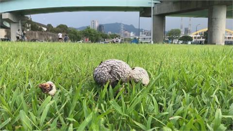 能吃嗎? 大雨後放晴冒滿地...  彩虹河濱公園長滿「香菇」?