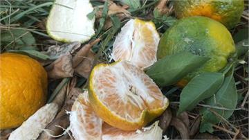 缺水賣相差 沒下雨苗栗柑橘多曬傷