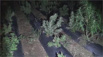 詐欺犯改當「大麻自耕農」 破紀錄!千株大麻市價破六億