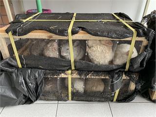 快新聞/後行李箱有聲音! 警盤查驚見走私價值8百萬「可愛龍貓鼠」