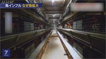 九州.關東等13縣市爆禽流感 撲殺460萬隻雞