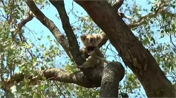 澳洲野火毀無尾熊大片家園!2050年恐絕跡